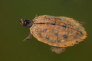 Northern map turtle (Graptemys geographica), Maryland, USA, May. - John Cancalosi