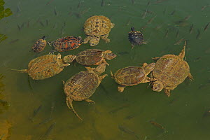 Snapping turtles (Chelydra serpentina) with Red-eared sliders (Pseudemys rubriventris) and River cooter (Pseudemys concinna) and Bluegills (Lepomis macrochirus), Maryland, USA, June. - John Cancalosi