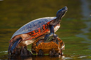Northern red-bellied turtle (Pseudemys rubriventris), Maryland, USA. May. - John Cancalosi