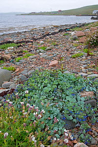 Oyster plant (Mertensia maritima) and Sea campion (Silene uniflora) on shingle beach, Hillswick, Shetland, Scotland, UK. June 2018.  -  Adrian Davies