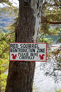 Sign nailed to tree trunk warning drivers of Red squirrel (Sciurus vulgaris) presence. Re-introduction project, Torridon, Scotland, UK. May 2018. - Adrian Davies