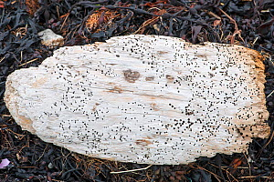 Shipworm (Teredo sp) signs as holes in piece of wood on beach. Shetland, Scotland, UK. June.  -  Adrian Davies