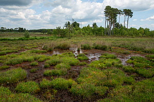 Lowland peat bog with deciduous and pine woodland in background, Thursley National Nature Reserve, Surrey, England, UK. June 2018. - Adrian Davies