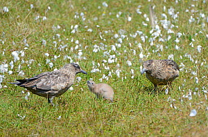 Great skua / Bonxie (Stercorarius skua) family in Cottongrass (Eriophorum). Hermaness, Shetland, Scotland, UK. June. - Adrian Davies
