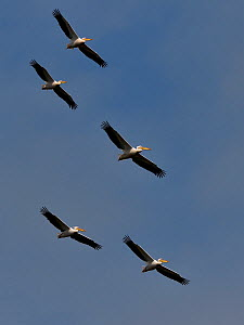 Great white pelican (Pelecanus onocrotalus), group of five flying against blue sky, Danube Delta, Romania. May. - Loic Poidevin