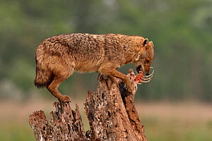 Golden jackal (Canis aureus) eating a fish whilst balancing on a tree stump. Danube Delta, Romania, May.  -  Loic Poidevin