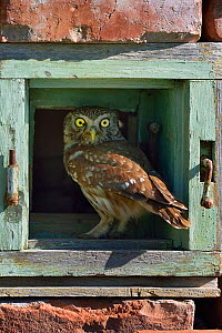 Little owl (Athene noctua) perched in wall. Danube Delta, Romania. May. - Loic Poidevin