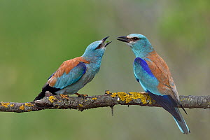 European roller (Coracias garrulus), pair perched on branch. Danube Delta, Romania. May. - Loic Poidevin