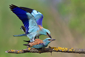European roller (Coracias garrulus) pair mating on a branch. Danube Delta, Romania. May.  -  Loic Poidevin