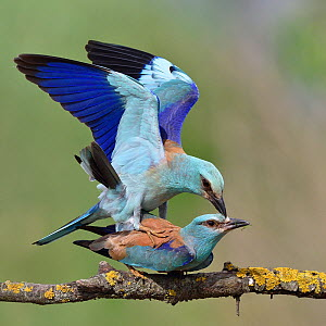 European roller (Coracias garrulus), pair mating on a branch. Danube Delta, Romania. May.  -  Loic Poidevin