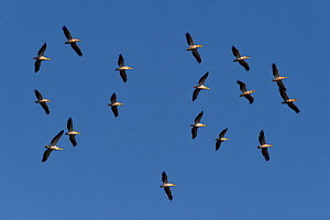 Great white pelican (Pelecanus onocrotalus), flock against blue sky over the Danube Delta, Romania. May. - Loic Poidevin