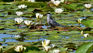 Whiskered tern (Chlidonias hybrida) standing amongst White water lilies (Nymphaea alba). Danube Delta, Romania. May.  -  Loic Poidevin