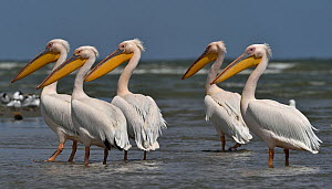 Great white pelican (Pelecanus onocrotalus), group standing in Black Sea, Romania. May. - Loic Poidevin