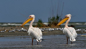 Great white pelican (Pelecanus onocrotalus), two standing in Black Sea, Romania. May. - Loic Poidevin