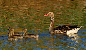 Greylag goose (Anser anser) adult with four goslings in the Danube Delta, Romania. May.  -  Loic Poidevin