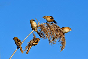 Bearded tit (Panurus biarmicus), five perched on Reed (Phragmites australis). Danube Delta, Romania. May.  -  Loic Poidevin