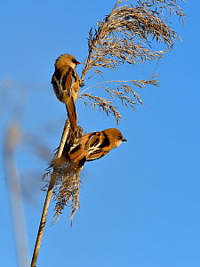 Bearded tit (Panurus biarmicus), two perched on Reed (Phragmites australis). Danube Delta, Romania. May.  -  Loic Poidevin