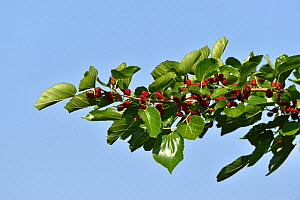 Mulberry (Morus nigra) branch with berries. Danube Delta, Romania. May.  -  Loic Poidevin