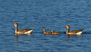 Greylag goose (Anser anser) family, two adults and two goslings on water, Danube Delta, Romania. May.  -  Loic Poidevin