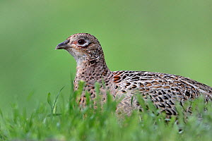 Common pheasant (Phasianus colchicus) sitting in grass. Romania. May.  -  Loic Poidevin