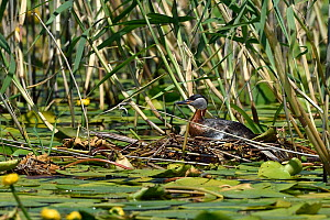 Red necked grebe (Podiceps grisegena) sitting on nest amongst water lilies and reeds. Danube Delta, Romania. May.  -  Loic Poidevin