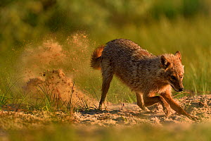 Golden jackal (Canis aureus) digging with sand flying behind. Danube Delta, Romania, May.  -  Loic Poidevin