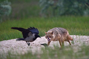 Golden jackal (Canis aureus) snarling and chasing off Hooded crows (Corvus cornix). Danube Delta, Romania, May.  -  Loic Poidevin