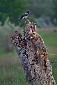 Golden jackal (Canis aureus) climbing tree trunk to scavenge fish left by Sea eagle. Hooded crow (Corvus cornix) perched at top. Danube Delta, Romania, May.  -  Loic Poidevin