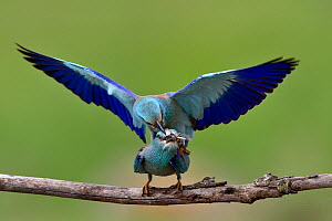 European roller (Coracias garrulus) pair mating, female with food in beak. Danube Delta, Romania. May.  -  Loic Poidevin