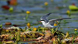 Common tern (Sterna hirundo) perched amongst Yellow water lilies (Nuphar lutea). Danube Delta, Romania. May.  -  Loic Poidevin