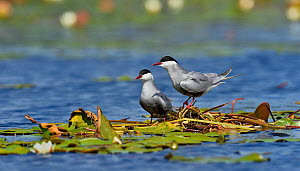 Whiskered tern (Chlidonias hybrida) pair at nest in water lilies. Danube Delta, Romania. May. - Loic Poidevin