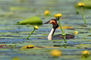 Great crested grebe (Podiceps cristatus) amongst Yellow water lilies (Nuphar lutea). Danube Delta, Romania. May.  -  Loic Poidevin