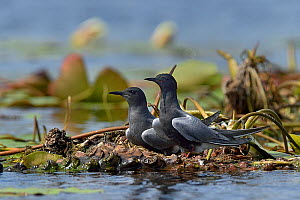 Black tern (Chlidonias niger) pair at nest on floating water lilies. Danube Delta, Romania, May.  -  Loic Poidevin