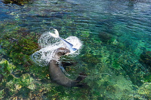 Galapagos sea lion (Zalophus wollebaeki) feeding on tuna. A group of the sea lion bulls have learnt to herd Pelagic yellowfin tuna into a small cove, trapping them. The fish often leap ashore in an ef...  -  Tui De Roy
