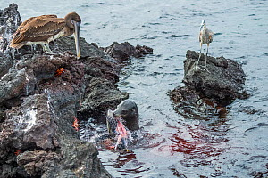Galapagos sea lion (Zalophus wollebaeki) feeding on tuna watched by scavengers, including, Brown pelican (Pelecanus occidentalis urinator), Great blue heron (Ardea herodias), and Sally lightfoot crab... - Tui De Roy