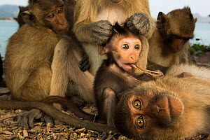 Long-tailed macaque (Macaca fascicularis) group relaxing, with one grooming baby, Koram island,    Khao Sam Roi Yot National Park, Thailand. - Cyril Ruoso