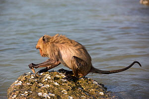 Long-tailed macaque (Macaca fascicularis) using stone to break open oysters. Koram island, Khao Sam Roi Yot National Park, Thailand. - Cyril Ruoso