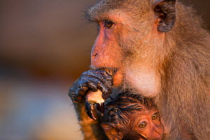 Long-tailed macaque (Macaca fascicularis) female eating crab claw, with baby with wet fur. The infant's fur is wet as it was carried on underside of mother whilst she was foraging on the shore. Koram... - Cyril Ruoso
