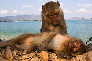 Long-tailed macaques (Macaca fascicularis)  grooming each other on beach. Koram island, Khao Sam Roi Yot National Park, Thailand. - Cyril Ruoso