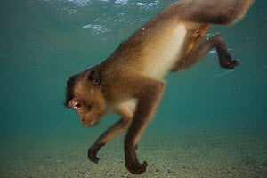 Long-tailed macaque (Macaca fascicularis) swimming. These macaques go underwater to play, or escape from a threat. When offering at temples are thrown into the water they swim and store it in their ch...  -  Cyril Ruoso