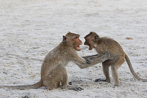 Long-tailed macaques (Macaca fascicularis) playing on the beach, Thailand. - Cyril Ruoso