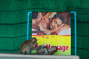 Long tailed macaque (Macaca fascicularis) interacting in front of sign form hot stone massages, Gulf of  Thailand, THAILAND - Cyril Ruoso