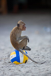 Long tailed macaque (Macaca fascicularis) sitting on football on beach, Gulf of Thailand, Thailand. - Cyril Ruoso