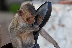 Long tailed macaque (Macaca fascicularis) juvenile playing with mirror, Gulf of  Thailand, Thailand.  -  Cyril Ruoso