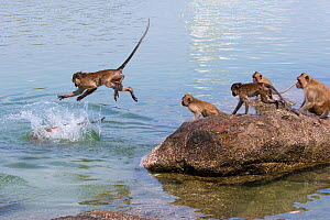 Long tailed macaque (Macaca fascicularis) troupe playing and jumping into the sea, Thailand. - Cyril Ruoso