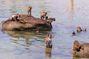 Long tailed macaque (Macaca fascicularis) troupe playing in the sea, Thailand. - Cyril Ruoso