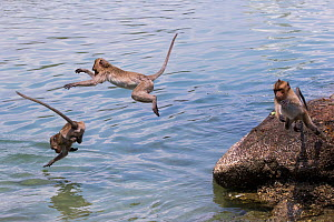 Long tailed macaque (Macaca fascicularis) troupe playing and jumping in the sea, Thailand. - Cyril Ruoso