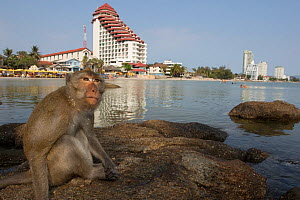 Long tailed macaque (Macaca fascicularis) sititng on beach near city,Thailand. - Cyril Ruoso