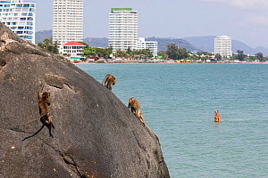 Long tailed macaques (Macaca fascicularis) playing on cliffs above the sea wtih town buidings in background, Thailand - Cyril Ruoso