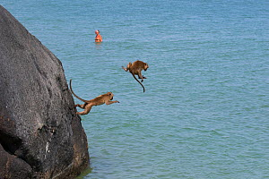 Long tailed macaques (Macaca fascicularis) playing on cliffs, jumping into the sea near city, Thailand - Cyril Ruoso